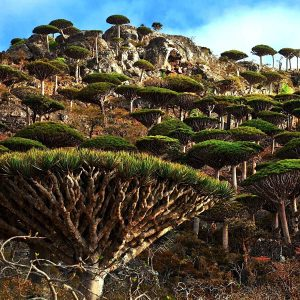 Dragon Blood Tree 6